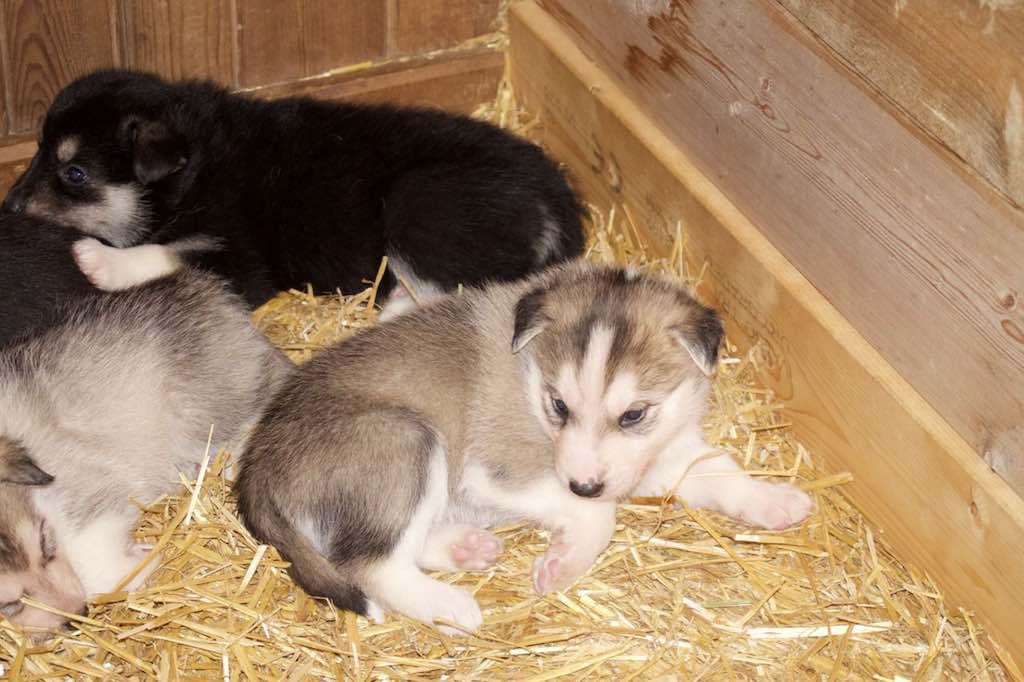 De puppy's verschillen in kleur van licht naar heel donker.
